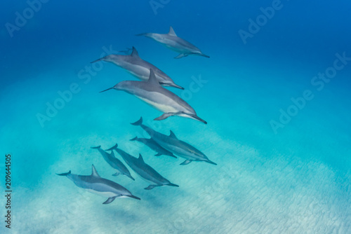 Fotobehang Dolfijn Pod of dolphins swimming in formation