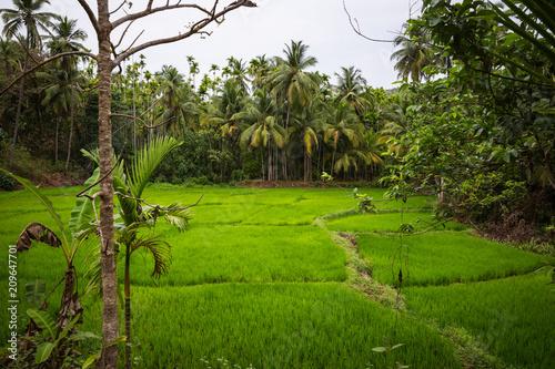 Foto Murales Rice field