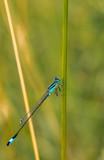 Blauflügel-Prachtlibelle am Teich - 209652900