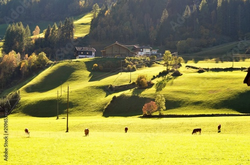 Aluminium Zwavel geel A green landscape with cows