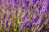 Impollinazione delle api, miele di lavanda, Provenza, Francia - 209660755