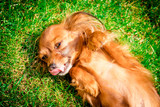 happy dog puppy as lying in the grass - 209661739