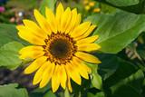 Sonnenblume in Nahaufnahme