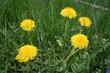 Summer meadow with dandelions  - 209665380