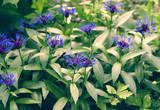 Montana Cornflower. Beautiful background with cornflowers. Blue beautiful flowers.