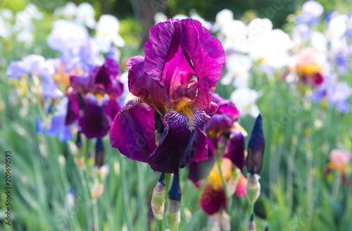 Fotobehang Iris Flowers of irises of different colors.