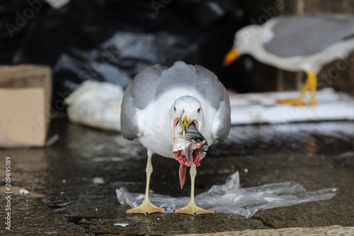 Seagull eating fish at market in Venice