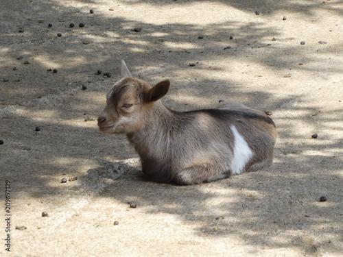 Plexiglas Kangoeroe yount goat on a farm