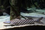 zebra shovelnose catfish underwater - 209708181