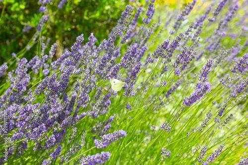 Sfondo Fiori Viola Lavanda Farfalle Buy Photos Ap Images