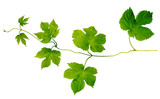 green hop leaves branch isolated on white background - 209717739