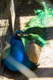 peacock - 209721148