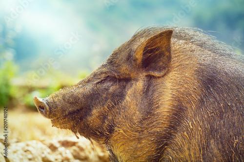 Foto Murales Vietnamese pig
