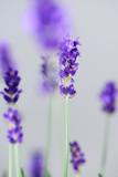 Lavendel - 209741324
