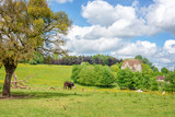 Cow grazing in a meadow, old manor in the background, French countryside landscape in Perche province, France