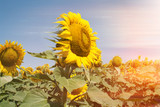 landscape of a sunflower field on a Sunny day