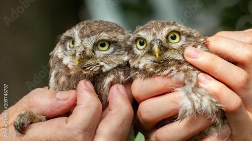 Foto Murales little owl