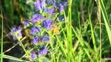 Idaea ochrata, bright wave, butterfly, pollination, Echium - 209751122