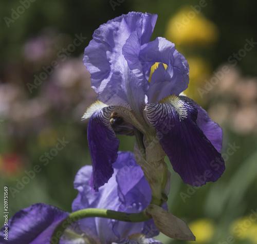 Fotobehang Iris iris