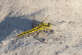 Dragonfly sitting on sea sand - yellow-winged darter - close up - 209752953