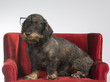 Funny wiener dog picture. The dog is wearing glasses and sits on a red sofa.
