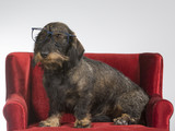 Funny wiener dog picture. The dog is wearing glasses and sits on a red sofa. - 209753193