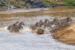 Zebra herd crossing the Mara river in the migraition season in the Masai Mara National Park in Kenya