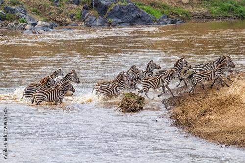 Zebra herd crossing the Mara river in the migraition season in the Masai Mara National Park in Kenya