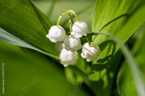 Fotobehang Lelietjes van dalen A small white lily of the valley surrounded by green leaves illuminated by a bright sun