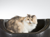 Persian cat on a black leather sofa. - 209758940