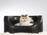 Persian cat on a black leather sofa. - 209758954