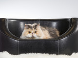 Persian cat on a black leather sofa. - 209758986