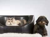 Persian cat and a wiener dog together. Image taken in a studio. - 209759549