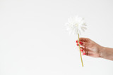 daisy gerbera on white background. flower flora and fragile nature concept. woman hand holding single herb twig