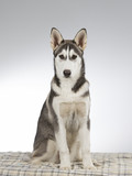 Husky puppy portrait. Image taken in a studio with white and grey background. - 209762594
