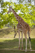 Giraffe walking and eating tree leaves in a shadow. Safari.