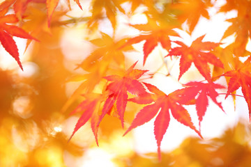 Blurred orange and red colored autumn season maple leaves. Selective focus used. © robsonphoto