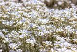 Snow-in-Summer, Cerastium tomentosum in bloom, white flowers background - 209770543