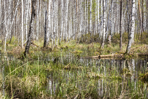Birch forest on the swamp - 209771106