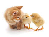 Kitten and chickens.