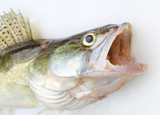 The Walleye or Pike-perch - Sander lucioperca. Fishing catch on white background. - 209786316