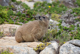 Wild marmot hyrax in south africa - 209808308