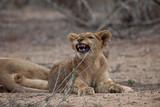 Sleepy baby lion cub