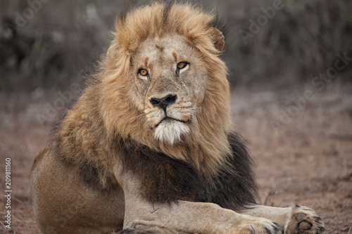 Fotobehang Lion Big maned male African lion