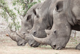 Three rhinos lined up perfectly in Africa - 209811393