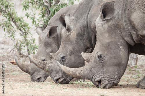 Plexiglas Neushoorn Three rhinos lined up perfectly in Africa