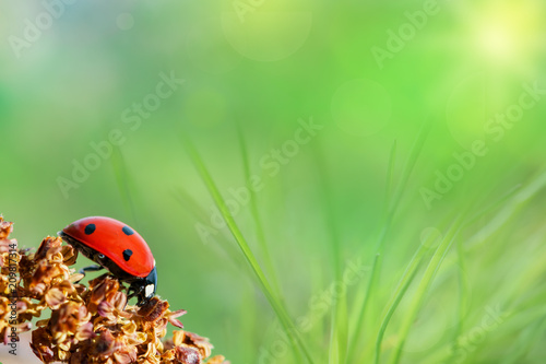 Ladybug on green tender grass, beautiful artistic image, background, blank for postcard, macro, selective focus