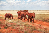 Group of African bush elephants (Loxodonta africana) red from dust, crossing the road during safari in Tsavo East national park, Kenya
