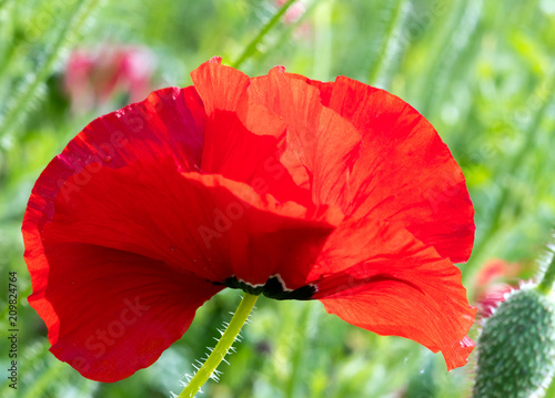 Foto Spatwand Rood Summer happiness, love of life: closeup view of red corn poppy :)