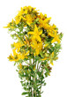 Medicinal herb St. John's wort with yellow fragrant flowers.
